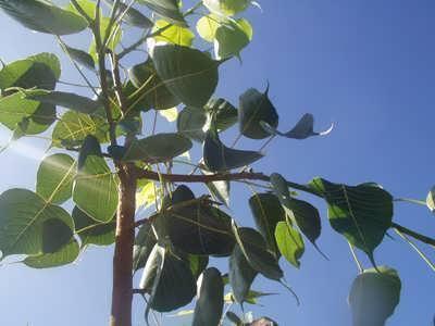 Buddhi Tree
