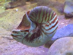 Nautilus - a living fossil